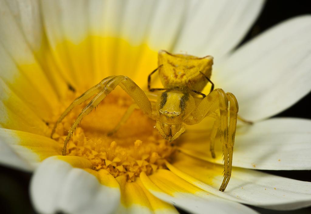 Yellow crab spider - Gele krabspin - Thomisus onustus