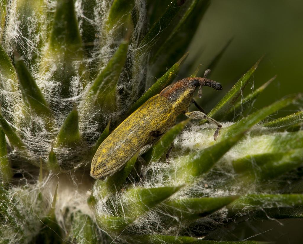 Weevil - Snuitkever - Curculionoidea