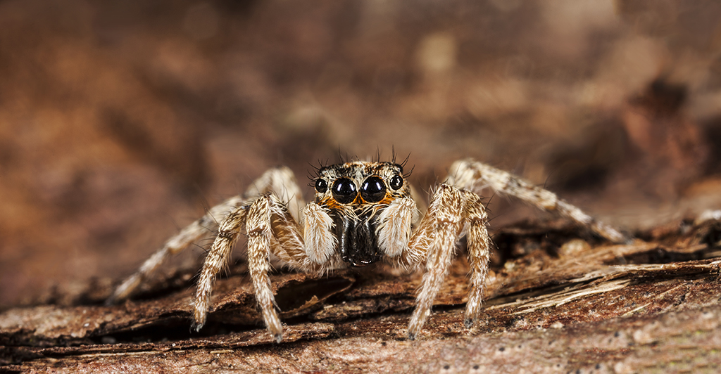 Jumping spider - Springspin - Salticidae